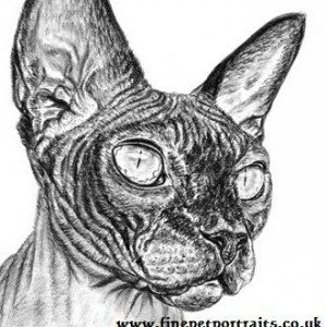 Sphynx cat charcoal portrait